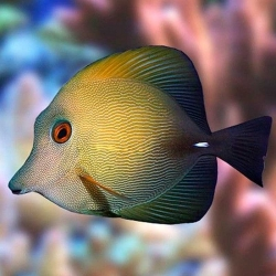 Comprar Zebrasoma Scopas S online en Barcelona Reef